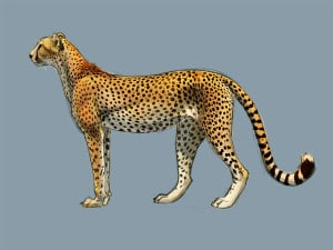 How to Draw Cheetahs