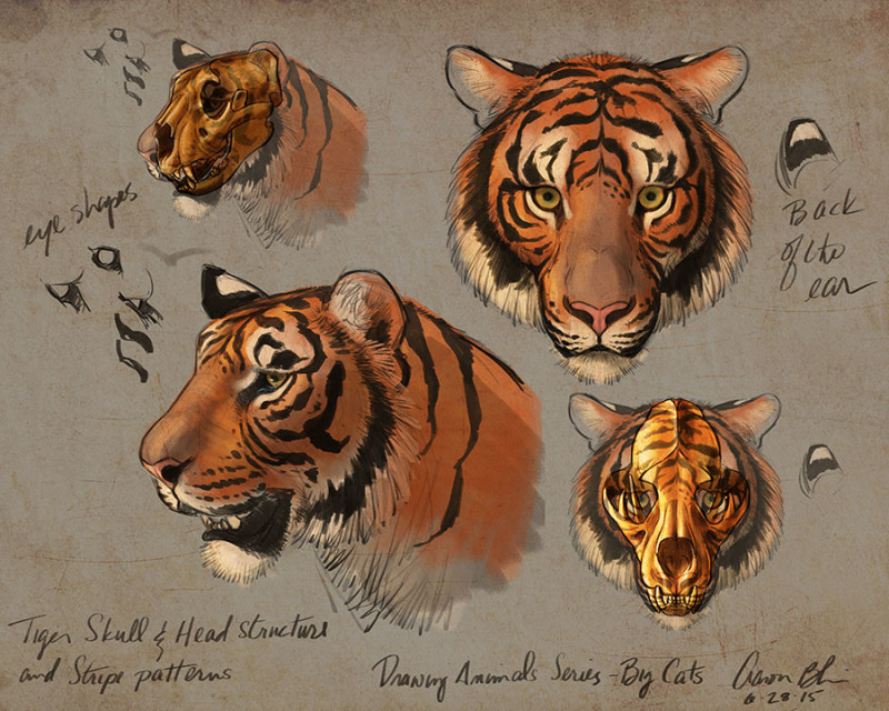 Tiger head drawing tutorial - photo#13